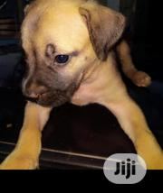 Baby Male Purebred Boerboel | Dogs & Puppies for sale in Oyo State, Itesiwaju