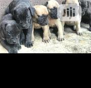 Baby Female Purebred Boerboel | Dogs & Puppies for sale in Oyo State, Iwajowa