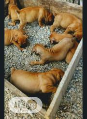 Baby Male Purebred Boerboel | Dogs & Puppies for sale in Oyo State, Ogbomosho North