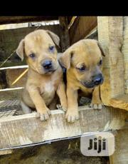 Baby Female Purebred Boerboel | Dogs & Puppies for sale in Oyo State, Ogbomosho South