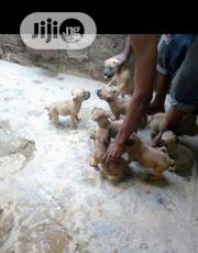 Baby Female Purebred Boerboel | Dogs & Puppies for sale in Oyo State, Ona-Ara