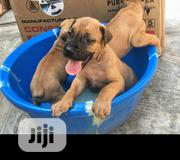 Baby Male Purebred Boerboel | Dogs & Puppies for sale in Oyo State, Afijio