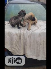 Baby Male Purebred Boerboel | Dogs & Puppies for sale in Oyo State, Ibadan North West