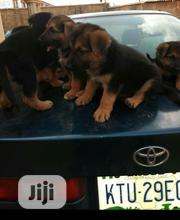 Baby Male Purebred German Shepherd Dog | Dogs & Puppies for sale in Oyo State, Ogbomosho North