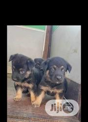 Baby Male Purebred German Shepherd Dog | Dogs & Puppies for sale in Oyo State, Ona-Ara