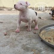 Baby Male Purebred Boerboel | Dogs & Puppies for sale in Abuja (FCT) State, Garki 2