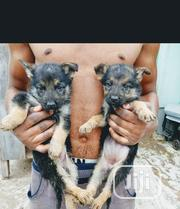 Baby Male Purebred German Shepherd Dog | Dogs & Puppies for sale in Oyo State, Afijio