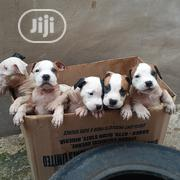 Baby Male Purebred American Pit Bull Terrier | Dogs & Puppies for sale in Ondo State, Iju/Itaogbolu