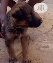 Baby Male Purebred German Shepherd Dog | Dogs & Puppies for sale in Osun State, Osogbo