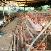 Old Layers | Livestock & Poultry for sale in Lagos State, Lagos Mainland