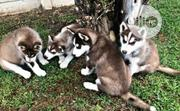 Baby Male Purebred Siberian Husky | Dogs & Puppies for sale in Abuja (FCT) State, Nyanya