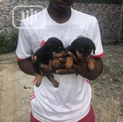 Baby Male Purebred Rottweiler | Dogs & Puppies for sale in Rivers State, Obio-Akpor