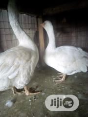 Matured Pair Of Geese   Livestock & Poultry for sale in Lagos State, Ikorodu