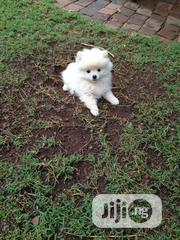 Young Female Purebred Pomeranian | Dogs & Puppies for sale in Lagos State, Ikoyi