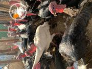 Christmas Turkeys | Livestock & Poultry for sale in Lagos State, Lagos Mainland