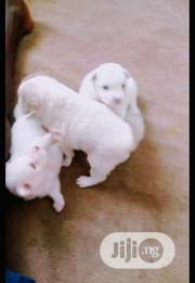 Baby Female Purebred Samoyed | Dogs & Puppies for sale in Oyo State, Ogbomosho North