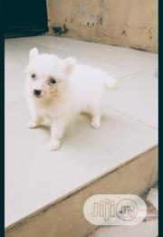 Baby Male Purebred Samoyed | Dogs & Puppies for sale in Oyo State, Ona-Ara