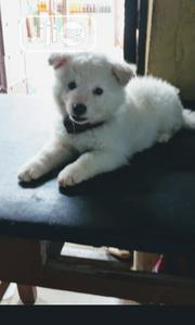 Baby Male Purebred Samoyed   Dogs & Puppies for sale in Oyo State, Iwajowa