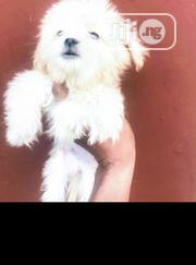 Baby Female Purebred Lhasa Apso | Dogs & Puppies for sale in Oyo State, Ogbomosho North