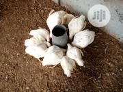Chicken For Sales | Livestock & Poultry for sale in Ogun State, Odeda