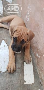 Baby Female Purebred Boerboel | Dogs & Puppies for sale in Lagos State, Oshodi-Isolo