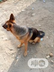 Adult Male Purebred German Shepherd Dog | Dogs & Puppies for sale in Abuja (FCT) State, Jahi