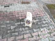 Adult Male Lhasa Apso For Stud/Mating Service | Pet Services for sale in Oyo State, Ibadan