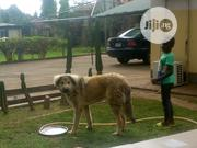 Young Male Purebred Caucasian Shepherd Dog   Dogs & Puppies for sale in Abuja (FCT) State, Jabi