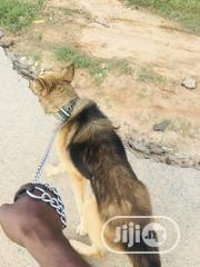 Adult Male Purebred German Shepherd Dog | Dogs & Puppies for sale in Abuja (FCT) State, Lugbe District