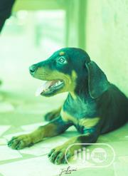 Baby Female Purebred Doberman Pinscher | Dogs & Puppies for sale in Oyo State, Akinyele