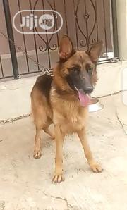 Adult Female Purebred German Shepherd Dog | Dogs & Puppies for sale in Abuja (FCT) State, Nyanya