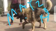 Adult Female Purebred Caucasian Shepherd Dog   Dogs & Puppies for sale in Abuja (FCT) State, Nyanya
