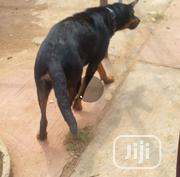 Adult Female Mixed Breed Rottweiler | Dogs & Puppies for sale in Oyo State, Akinyele