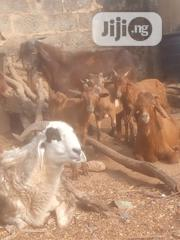 Goat Meat Available   Livestock & Poultry for sale in Lagos State, Yaba