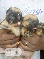 Baby Male Purebred Boerboel | Dogs & Puppies for sale in Ogun State, Ijebu Ode