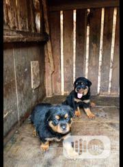 Baby Female Purebred Rottweiler   Dogs & Puppies for sale in Oyo State, Iwajowa