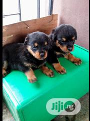 Baby Female Purebred Rottweiler | Dogs & Puppies for sale in Oyo State, Ogbomosho North