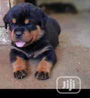 Baby Female Purebred Rottweiler | Dogs & Puppies for sale in Oyo State, Orelope