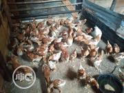 Layers Bird Chicken Three Month Old | Livestock & Poultry for sale in Edo State, Akoko-Edo