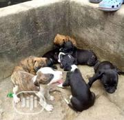 Baby Male Purebred American Pit Bull Terrier | Dogs & Puppies for sale in Oyo State, Ido