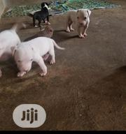 Baby Female Purebred American Pit Bull Terrier   Dogs & Puppies for sale in Oyo State, Iwajowa