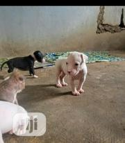Baby Male Purebred American Pit Bull Terrier | Dogs & Puppies for sale in Oyo State, Kajola