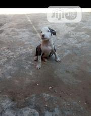 Baby Male Purebred American Pit Bull Terrier | Dogs & Puppies for sale in Oyo State, Ogbomosho North