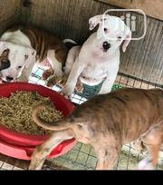 Baby Male Purebred American Pit Bull Terrier | Dogs & Puppies for sale in Oyo State, Oyo