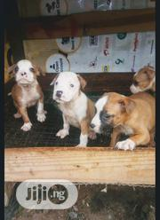 Baby Female Purebred American Pit Bull Terrier | Dogs & Puppies for sale in Oyo State, Egbeda