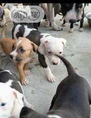 Baby Female Purebred American Pit Bull Terrier | Dogs & Puppies for sale in Oyo State, Ibadan