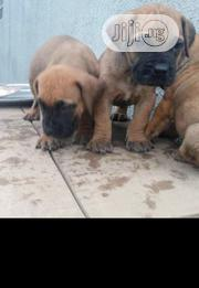 Baby Male Purebred Boerboel   Dogs & Puppies for sale in Oyo State, Iwajowa