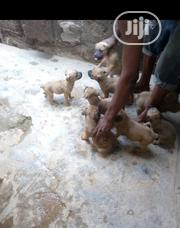 Baby Female Purebred Boerboel | Dogs & Puppies for sale in Oyo State, Oluyole