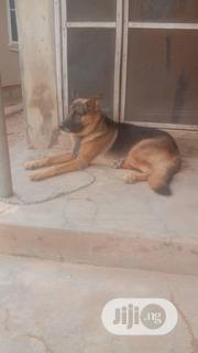Adult Male Purebred German Shepherd Dog | Dogs & Puppies for sale in Oyo State, Ibadan North