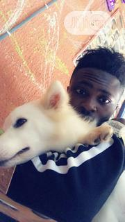 Young Male Purebred American Eskimo Dog | Dogs & Puppies for sale in Lagos State, Ikotun/Igando